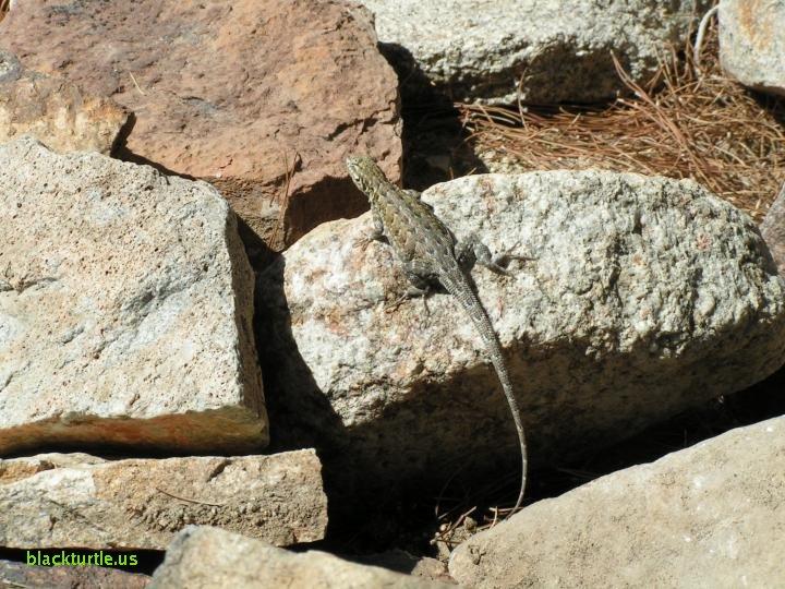 Lizard In My Backyard lizards and tortoises